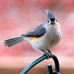 Titmouse with attitude!  He was wanting me out of the feeding area.